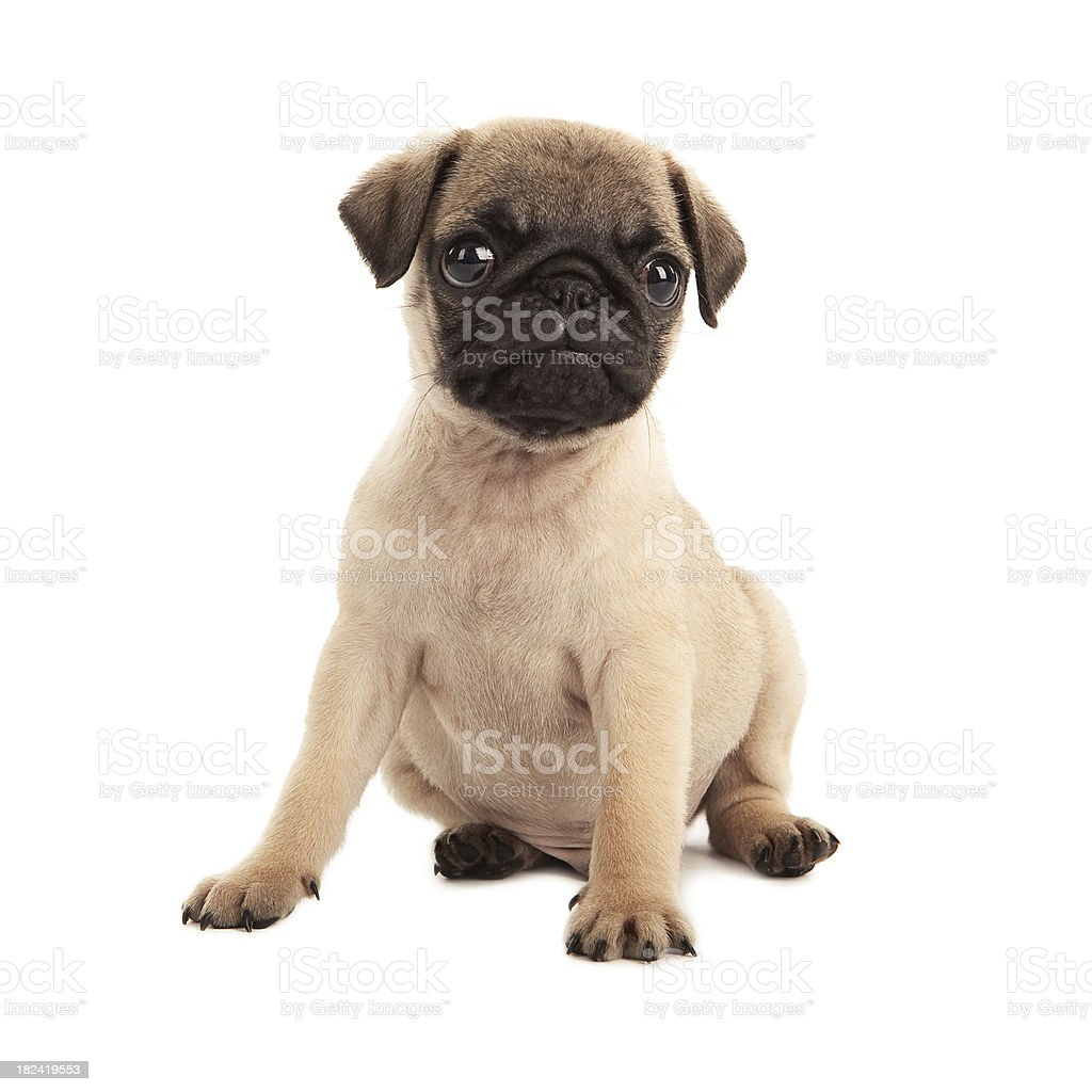 Pug Puppy Stock Photo Download Image Now Istock