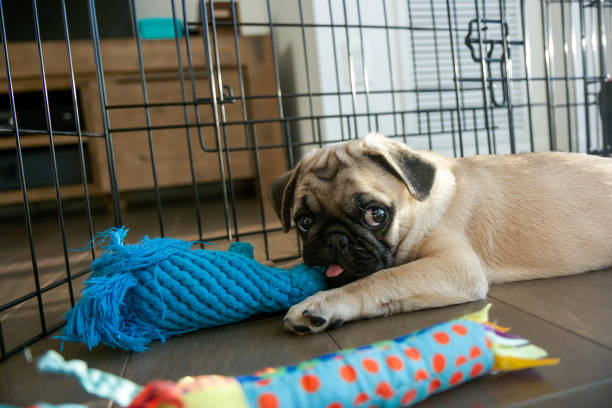 pug puppy - playpen stock pictures, royalty-free photos & images