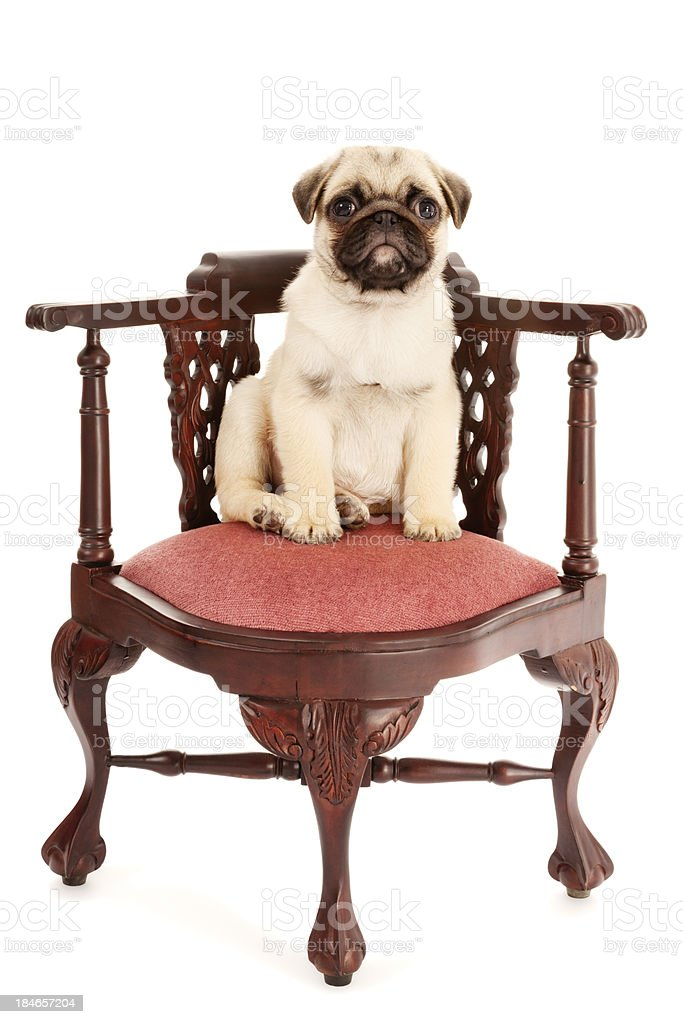 Pug Puppy Sitting In Chair royalty-free stock photo