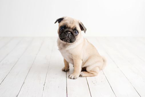 Little pug photographed in a studio setting, standard pug puppy