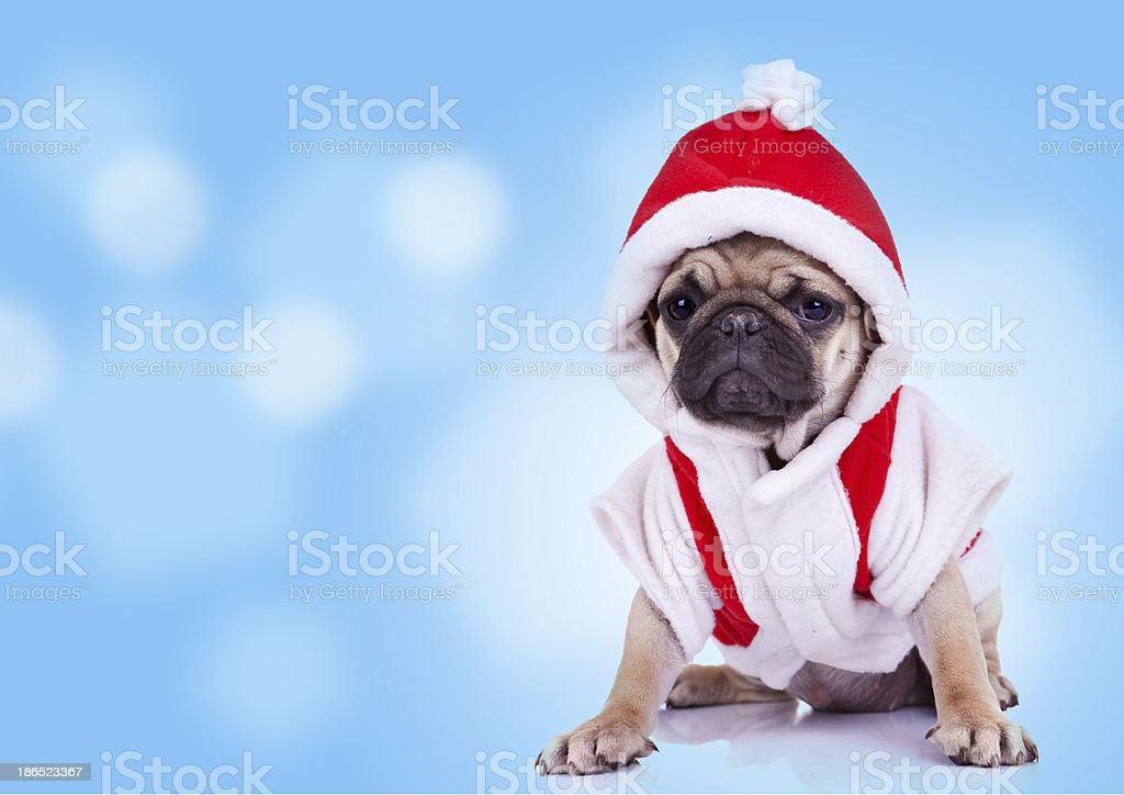 pug puppy wearing a santa claus costume royalty-free stock photo