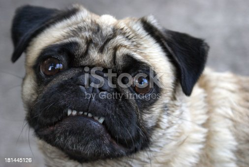 A pug shows her teeth for the camera in this comical pose.