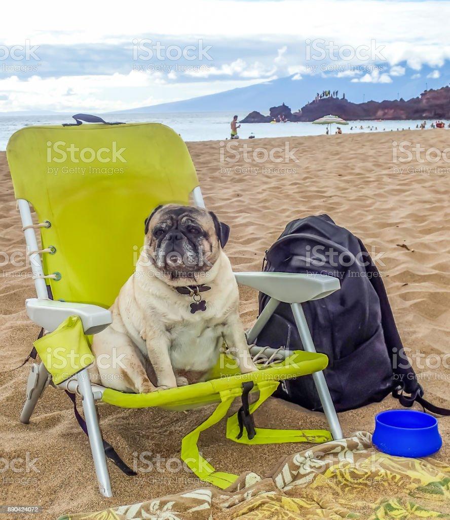 Pug sits in Beach Chair on Beach in Hawaii stock photo
