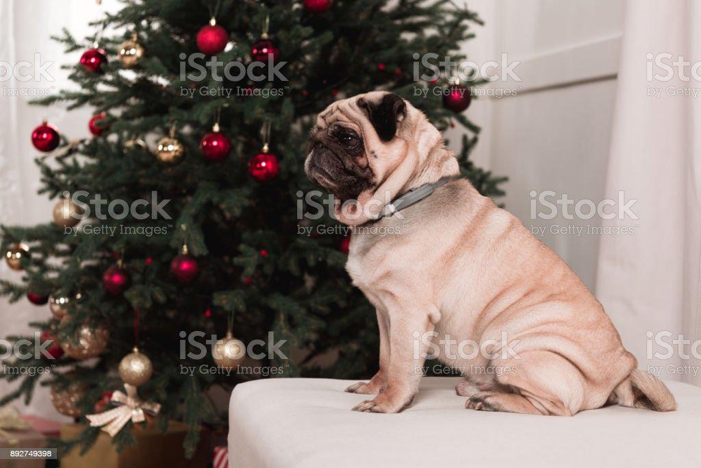 pug sitting next to christmas tree stock photo