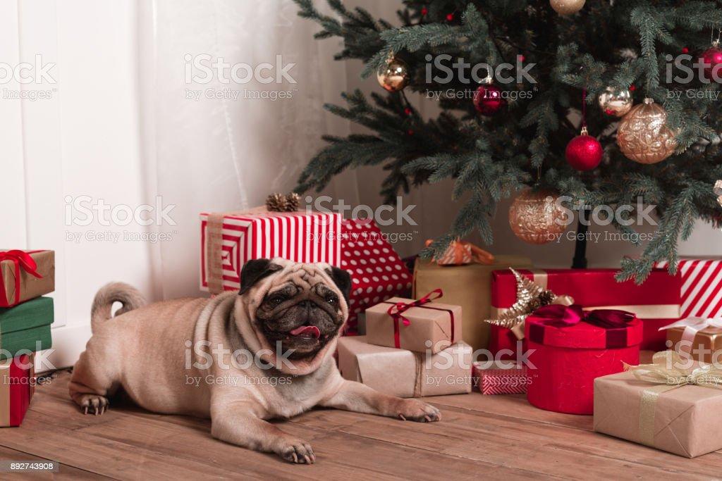 pug sitting under christmas tree stock photo