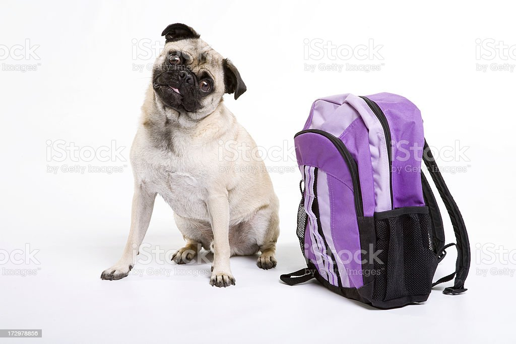 Pug sitting with backpack royalty-free stock photo