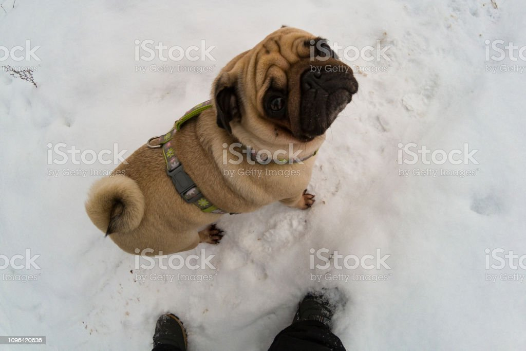 Pug stands at the feet of a man – zdjęcie