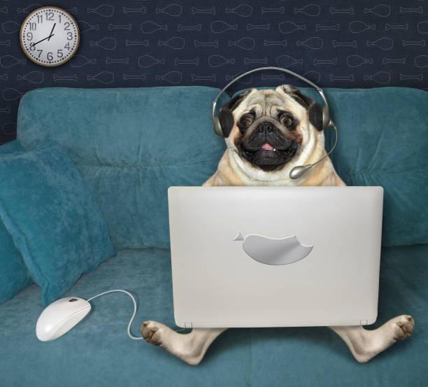pug using laptop on sofa - remote work imagens e fotografias de stock