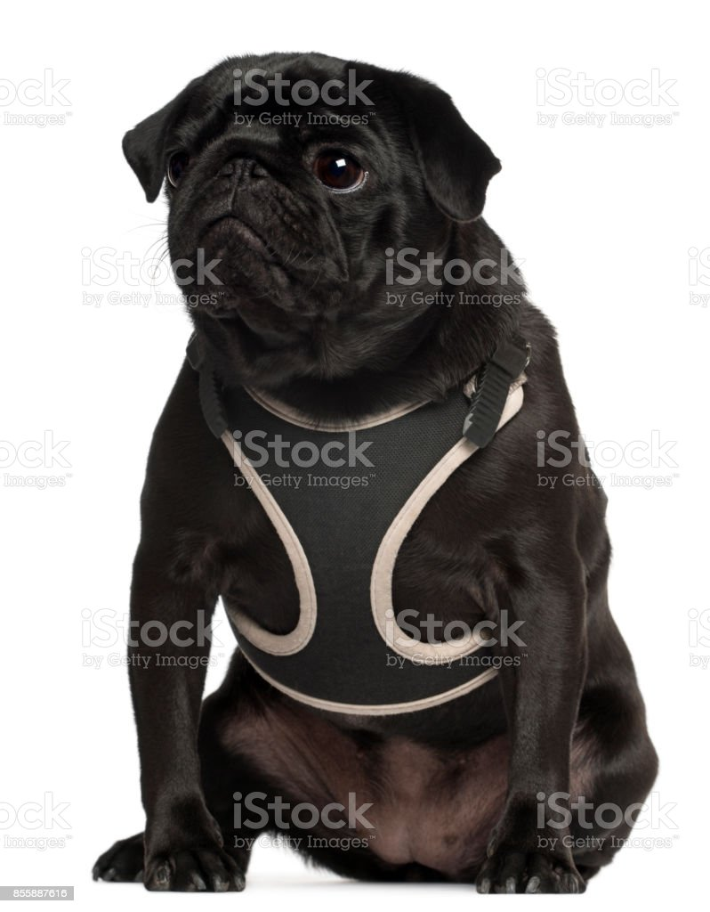 Pug wearing vest, 1 year old, sitting in front of white background stock photo