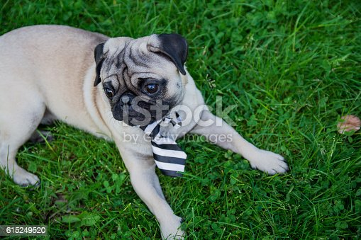 Pug with a tie laying on the grass