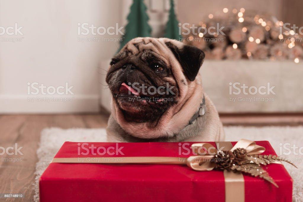 pug with christmas gift stock photo