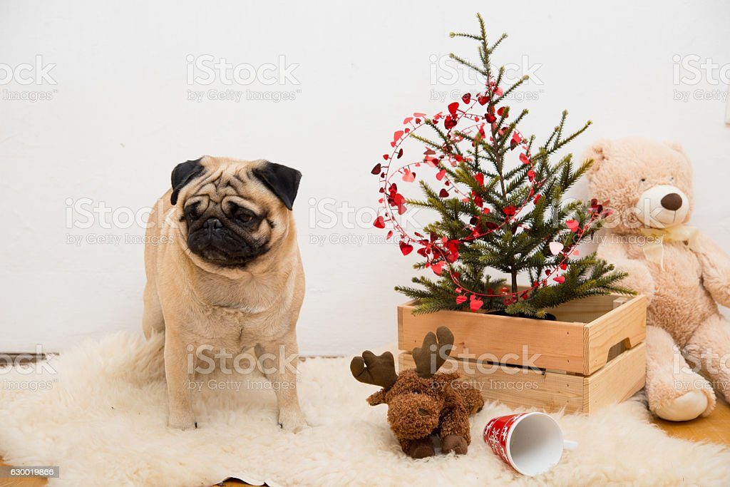 Pug With Christmas Tree And Decoration In Studio Stock Photo More