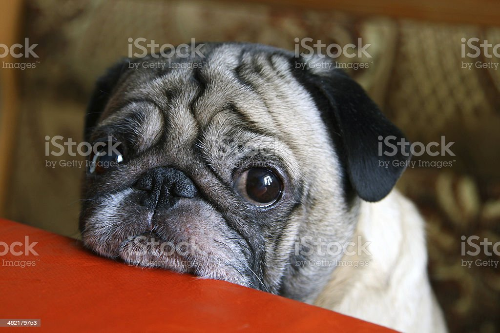 pug with sad eyes sitting at the table stock photo