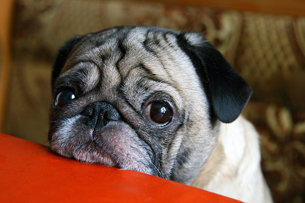 pug with sad eyes sitting at the table​​​ foto