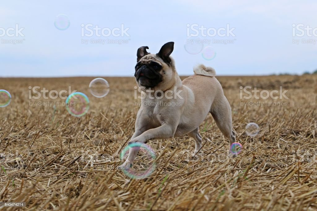 Mops mit Seifenblasen stock photo