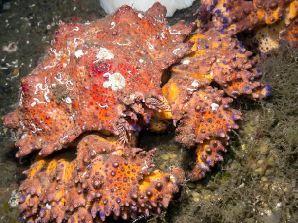 Puget Sound King Crab (Lopholithodes mandtii) stock photo