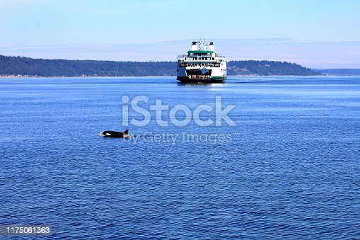 Orca crossing in front of Mukilteo ferry