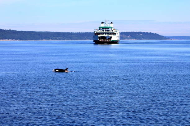 Puget Sound Orca crossing in front of Mukilteo ferry puget sound stock pictures, royalty-free photos & images