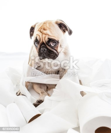 istock Puk Pukster Looking Sheepishly after Getting Caught 623350040