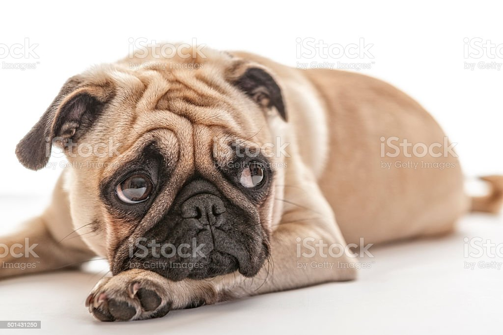 Puk Pukster the Pug Looking Up stock photo