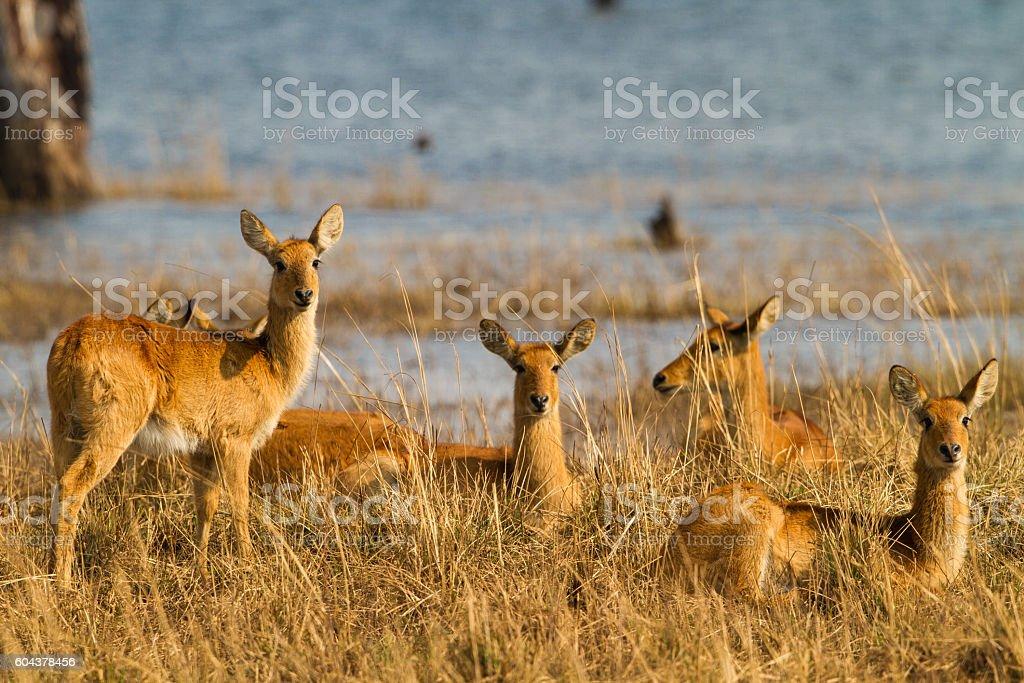 Puku (Kobus vardonii) herd stock photo