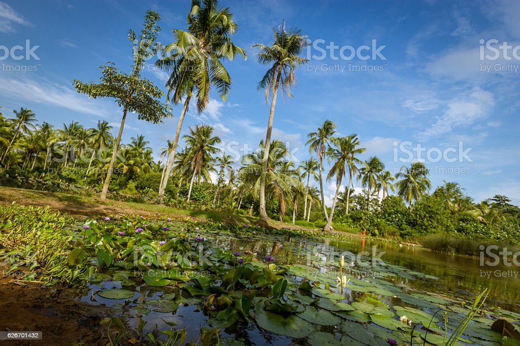 Pulau Ubin's swamp stock photo