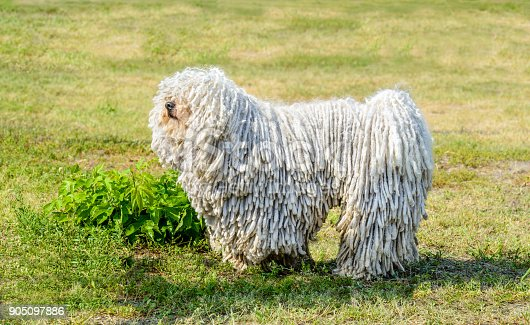 The Puli stands on the grass in the park.