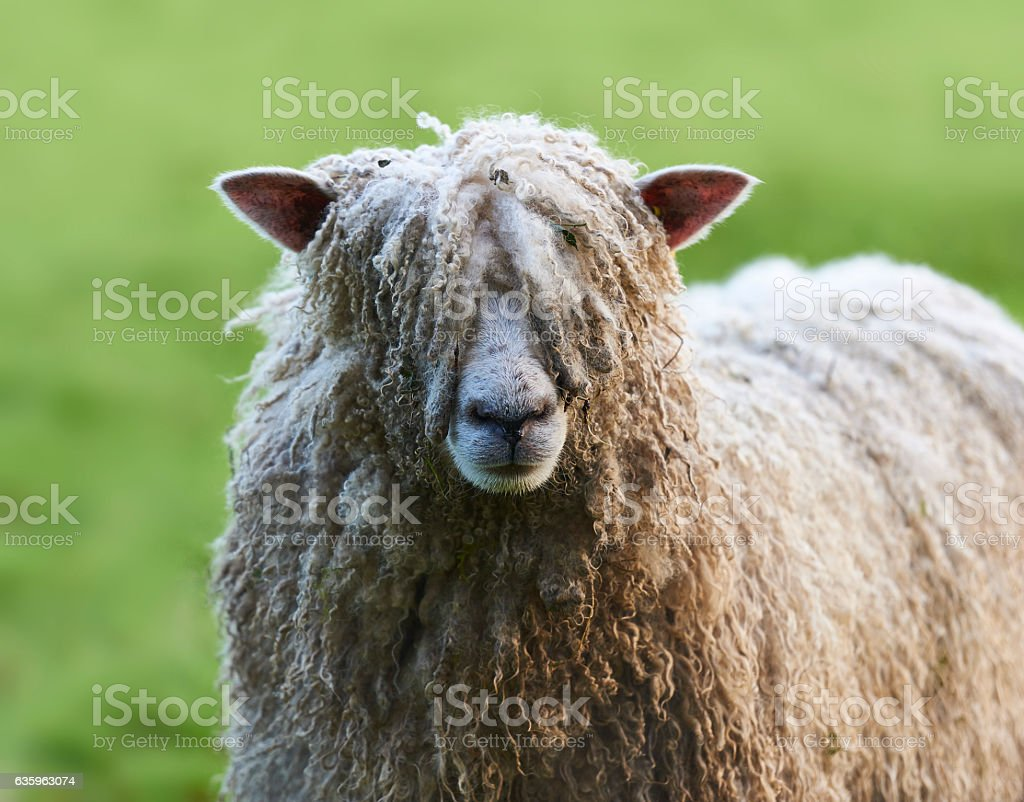 Pull the wool over your eyes, shaggy sheep stock photo