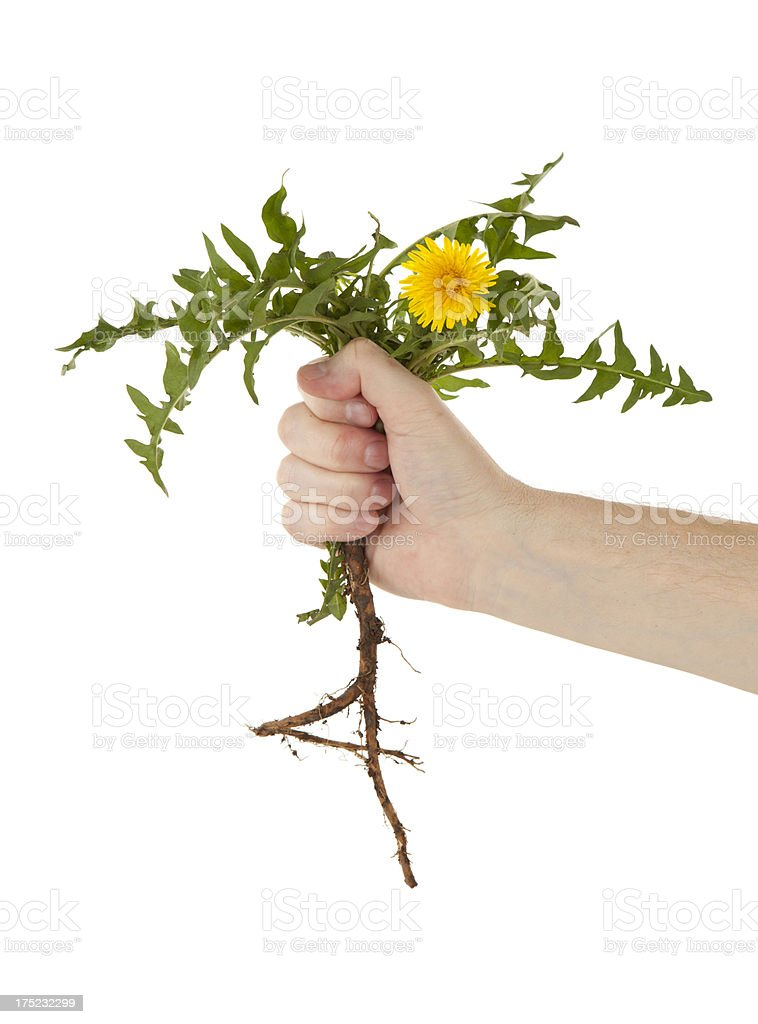 Pulling a Dandelion Weed stock photo