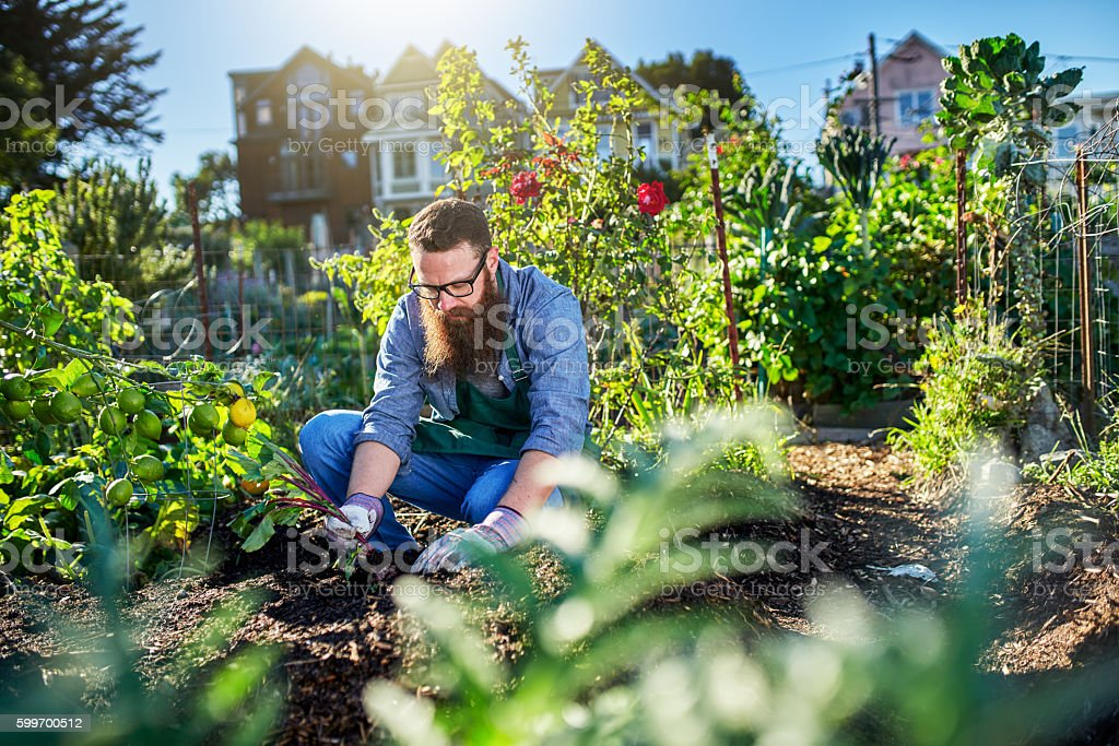 pulling beets out of the ground in urban communal garden stock photo