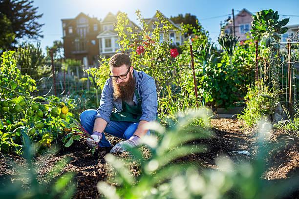 pulling beets out of the ground in urban communal garden - urbaner garten stock-fotos und bilder
