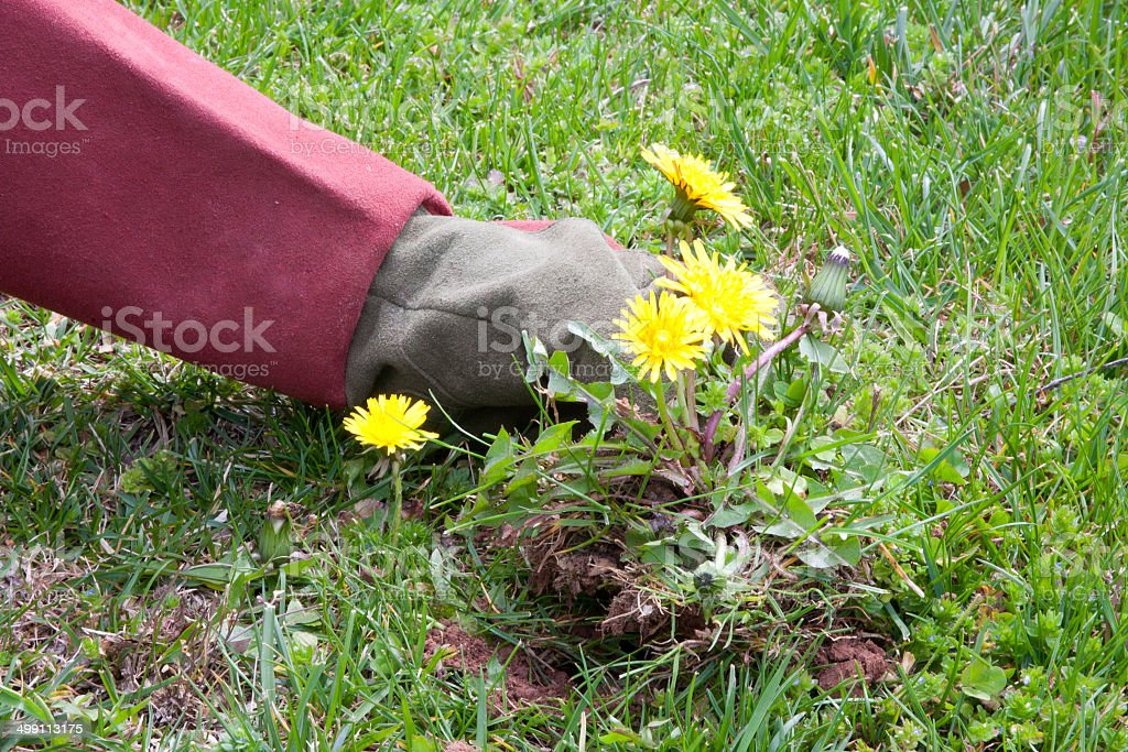 Pulling Up Dandelions stock photo