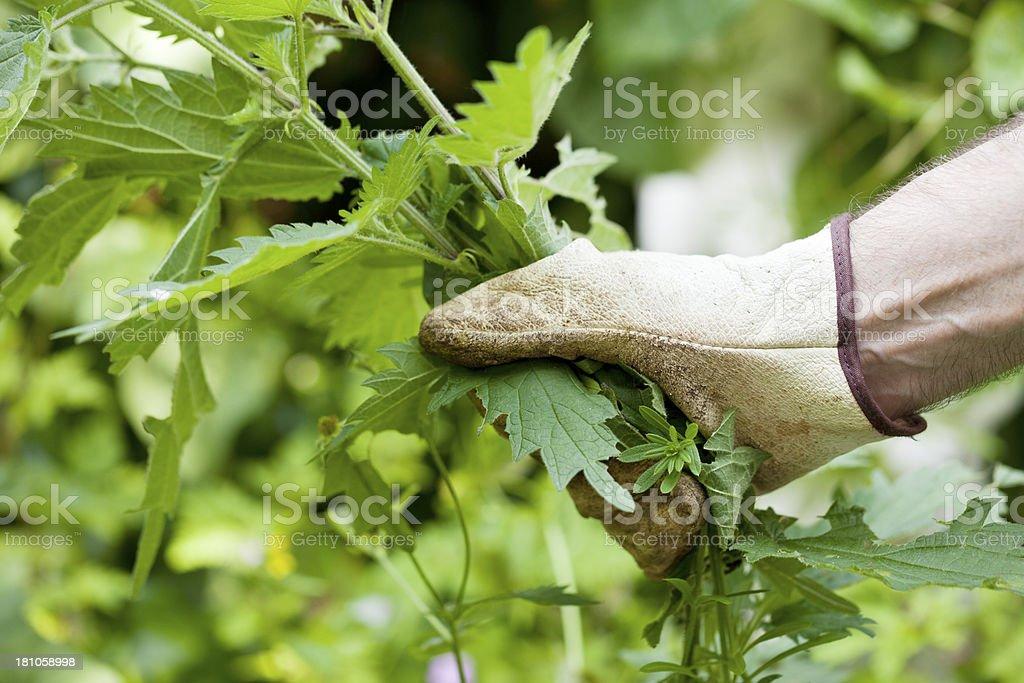 Pulling up weeds stock photo