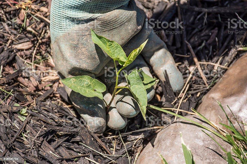 Pulling Weeds in Flower bed - foto de acervo