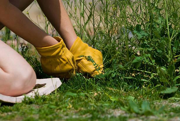 pulling weeds - wieden stockfoto's en -beelden
