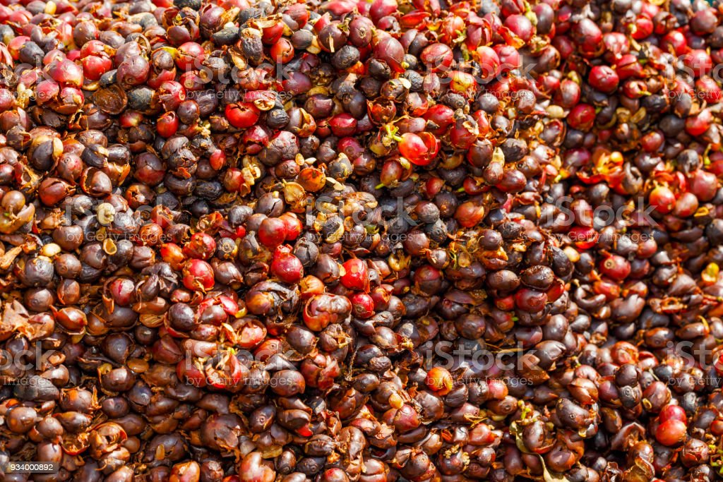 Pulp and outer skin of coffee bean were removed stock photo