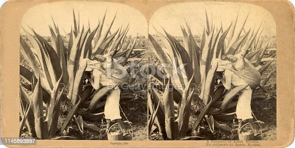 A Pulquero at Apam (Apan), Hidalgo, Mexico stereograph card 1890. Man is using a long gourd to suck up the sap from the center of the maguey (agave).