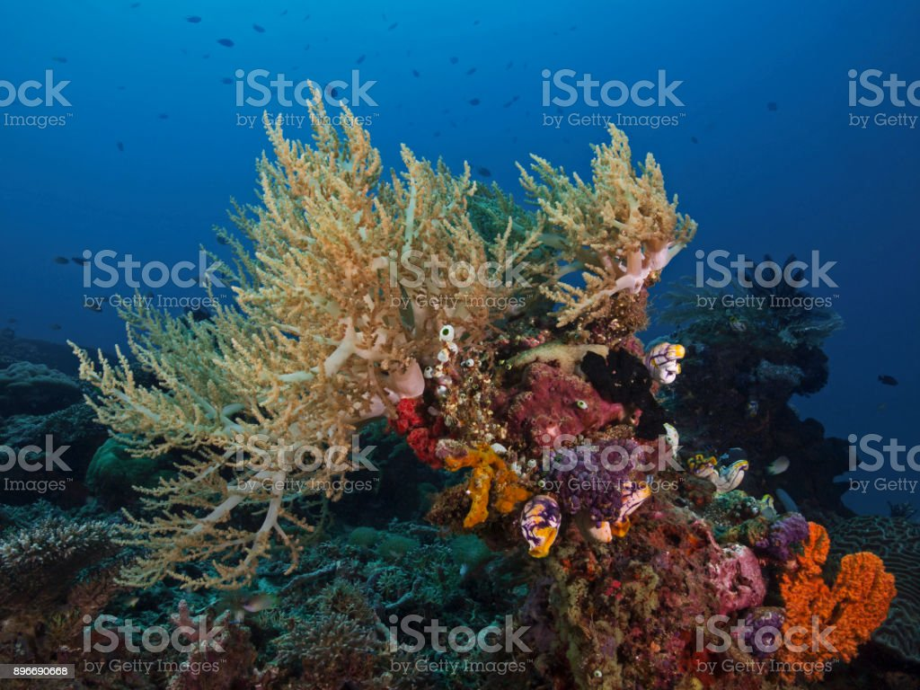 Pulse Coral, Pumpkoralle (Xenia elongata) stock photo