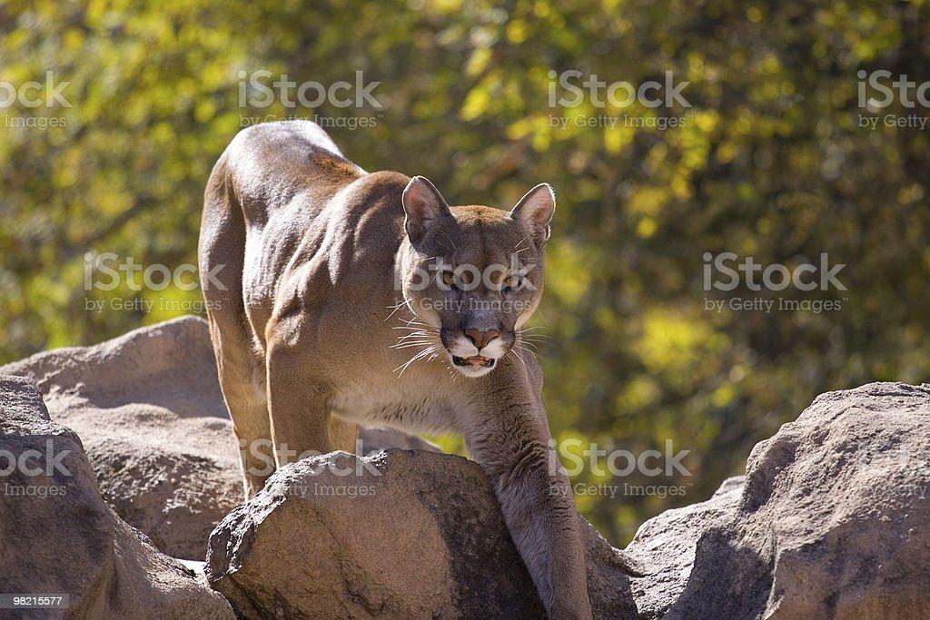 Puma Concolor (Cougar) royalty-free stock photo