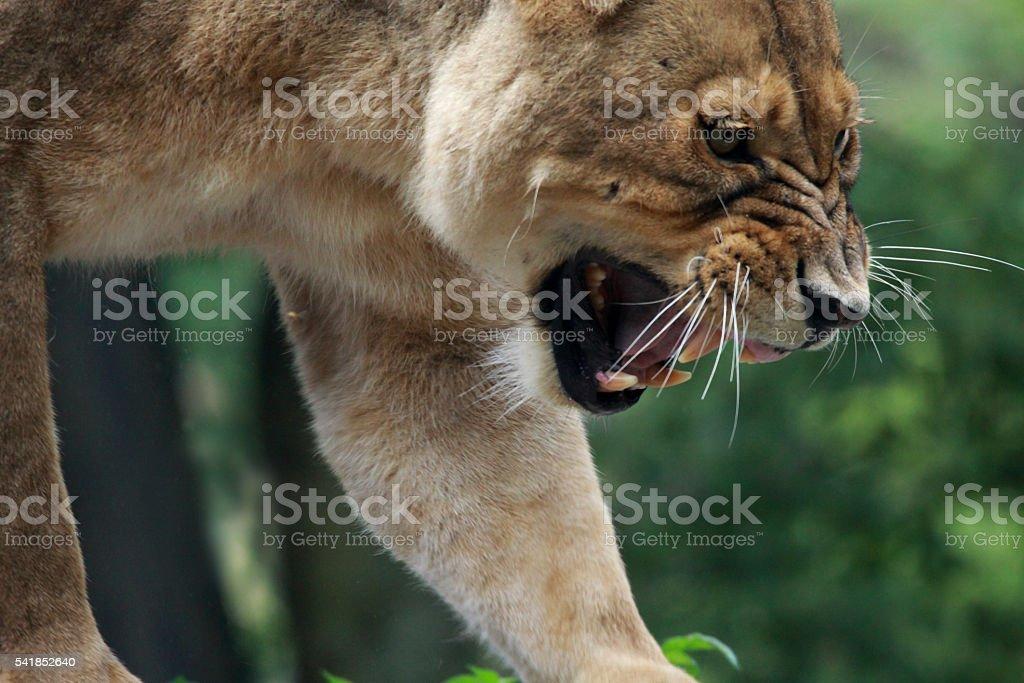 Puma concolor-Puma, mountain lion or silver lion stock photo