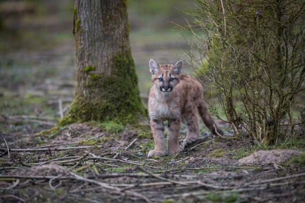 puma - cougar - schwarzer puma stock-fotos und bilder