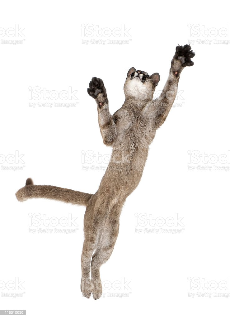 Puma cub leaping in midair against white background, studio shot royalty-free stock photo