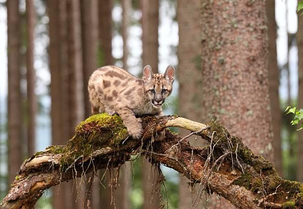 Puma cub picture id501361843?b=1&k=6&m=501361843&s=612x612&w=0&h=icu75hwfscvqe 52gsmro2 etlwgskpg6tzm7mebw9o=