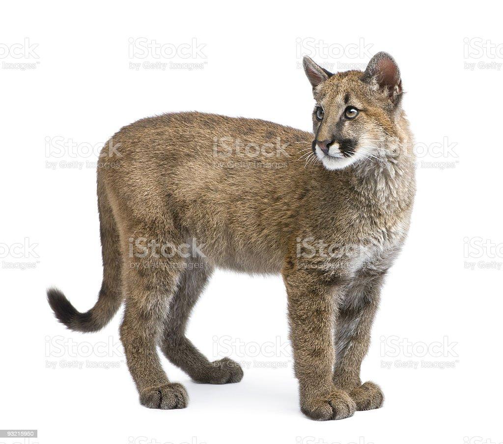 Puma cub (3,5 months) stock photo
