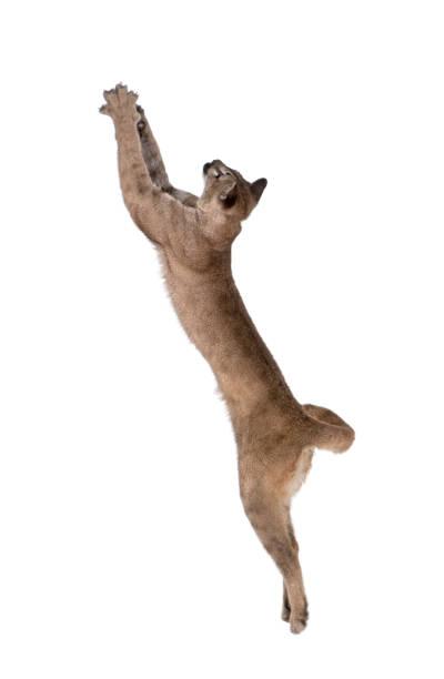 Puma cub puma concolor 1 year old leaping in midair against white picture id877333582?b=1&k=6&m=877333582&s=612x612&w=0&h=w5pnwrcgbscx25tubq5xfg2 41n2b6ihgbhyya4g04g=