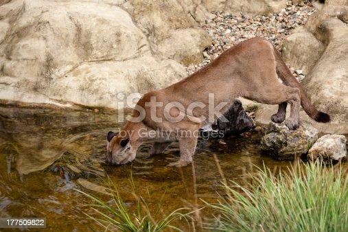 Puma Fishing in a Pond Felis Concolor