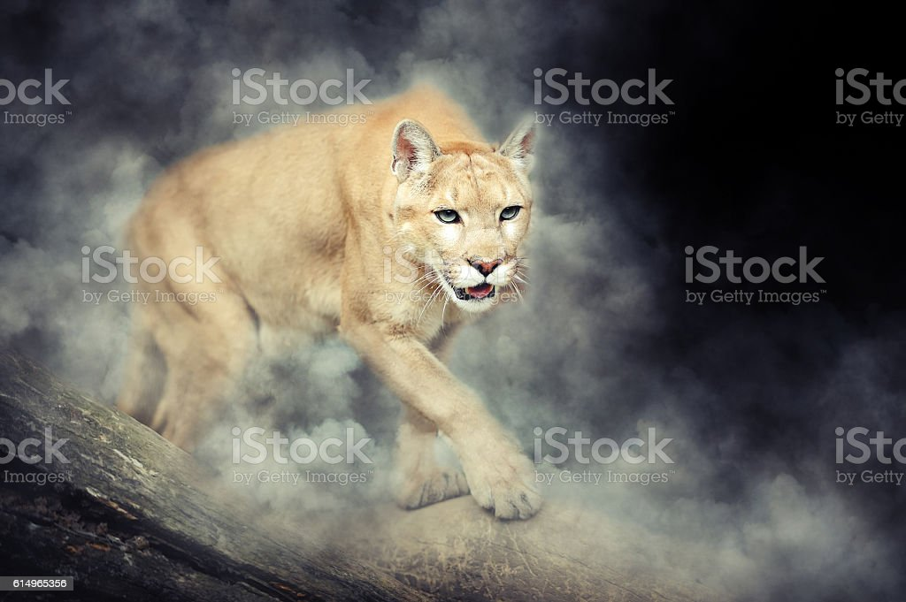 Puma in smoke stock photo