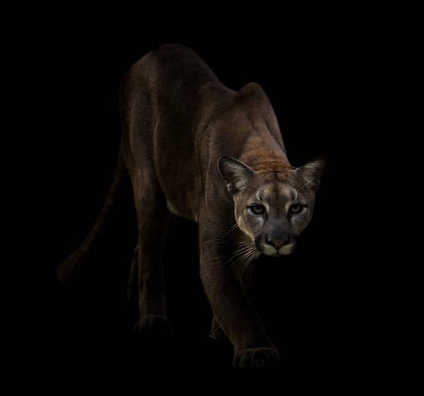 puma in the dark - schwarzer puma stock-fotos und bilder