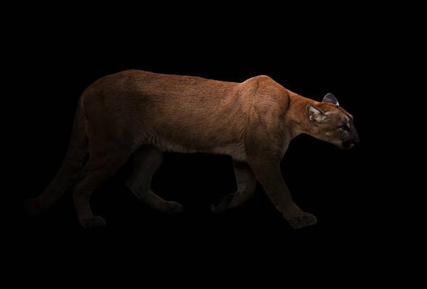 puma (panthera onca) in the dark - schwarzer puma stock-fotos und bilder