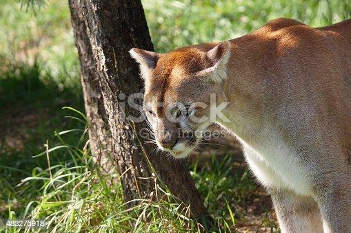 Wildcat or puma,Puma concolor, in shady natural habitat